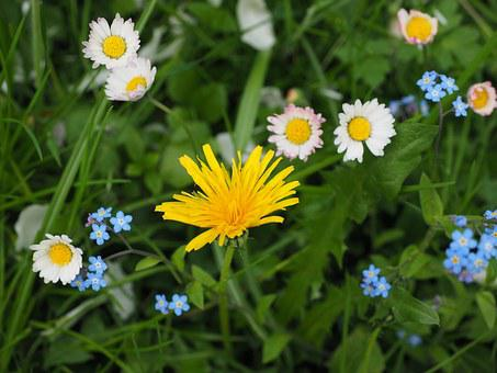 Wildflowers, Meadow, Dandelion, Forget Me Not, Yellow