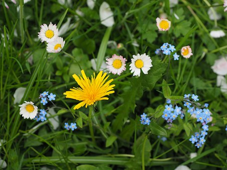 Wildflowers, Meadow, Dandelion, Forget Me Not, Yellow