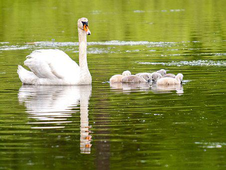 Mute Swan, Swan, Chicks, Bird, Water Bird, Nature