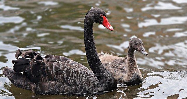 Mourning Swan, Swan, Black, Black Swan, Baby Swan