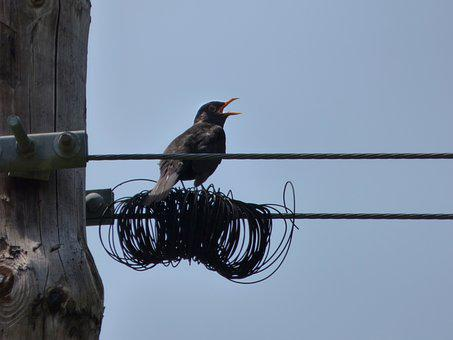 Blackbird, Merla, Cables, Wiring, Telephone Line