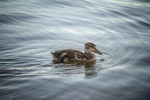 Duck, Mallard, Water, Lake, Climate Change, Climate