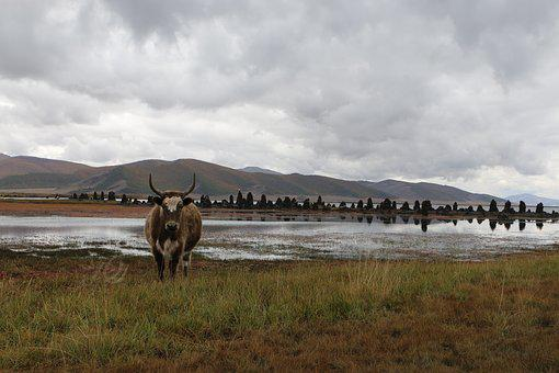 Mongolia, Steppe, Beef, Cow, Landscape, Clouds, Nature