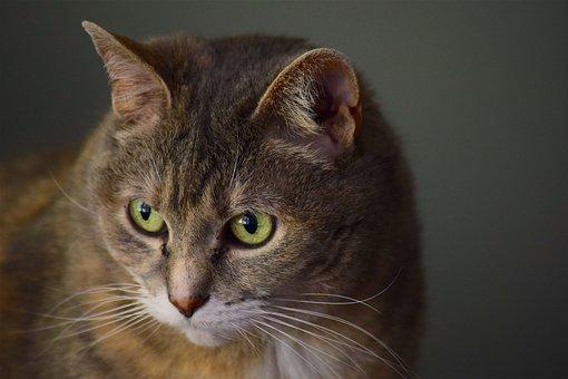 Cat, Portrait, Furry, Domestic, Animal, Pet, Cute