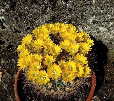 Cactus, Cactus Flower, Flowering Cactus, Flower