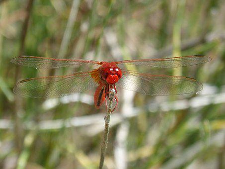 Red Dragonfly, Front Branch, Detail