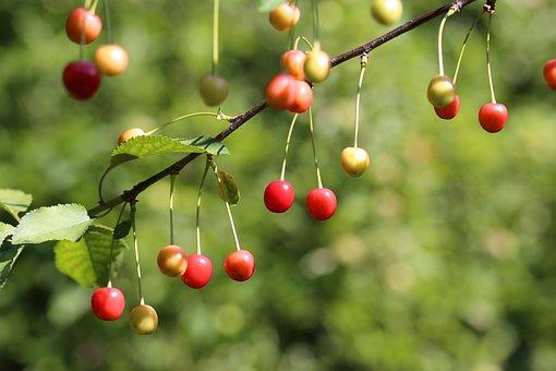 Sour Cherry, Fruit, Fresh, Organic, Healthy, Delicious