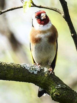 Stieglitz, Songbird, Garden Bird, Bird, Nature, Animal