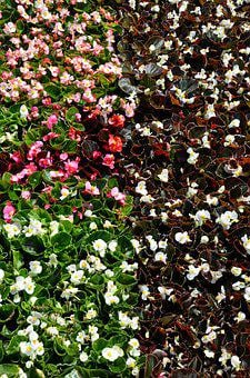 Begonias, Shade, Blossom, Garden, Nature, Bloom, Plant