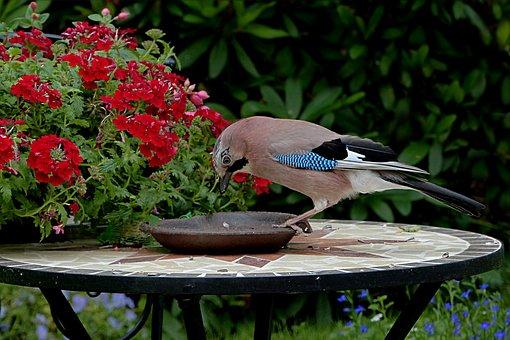 Bird, Jay, Garrulus Glandarius, Foraging, Garden