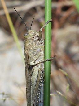 Lobster, Grasshopper, Branch, Hide, Subject, Arthropod