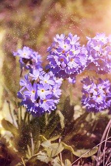 Ball-and-primrose, Primrose, Early Bloomer, Spring