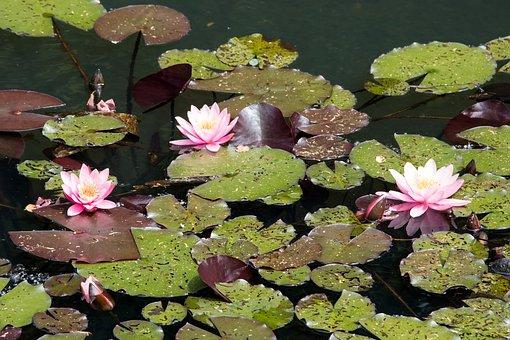 Water Lilies, Pond, Nature, Aquatic Plant, Blossom