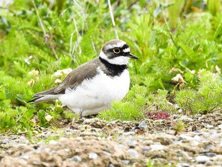 Little Ringed Plover, Bird, Nature, Animal