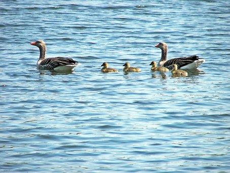 Duck Family, Animal, Grossensee, Ducks, Birds, Feather