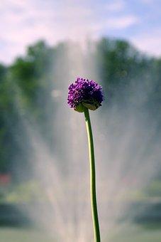 Decorative Garlic, Sphere, Blue, Flower, Violet
