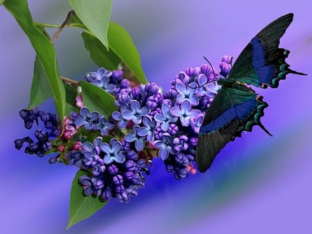 Lilac, Plant, Nature, Purple, Garden, Lilac Branch