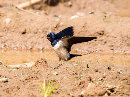 Martin, Schwalbe, Bird, Nature, Animal