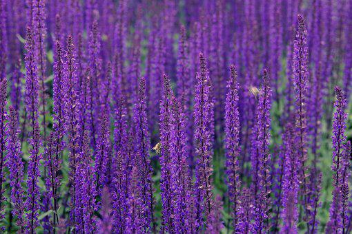 Lavender, Flowers, Violet, Meadow, Plants, The Smell Of
