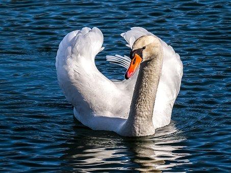 Swan, Mute Swan, Water Bird, Bird, Nature, Animal