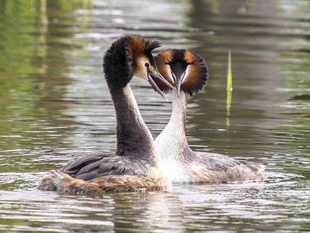Great Crested Grebe, Water Bird, Bird, Nature, Animal