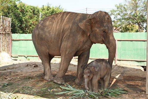 Elephant, Cub, Nature, Mammal, Park, Wild, Mother