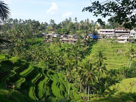 Bali, Indonesia, Asia, Rice Terrace, Field, Rice
