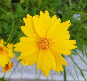 Cosmos, Avenue, Yellow Flower