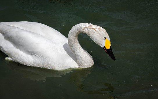 Swan, Bewick, Bird, Water, Cygnus, Wildfowl, Bewickii