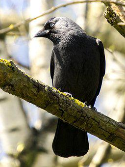 Jackdaw, Bird, Raven Bird, Nature, Animal