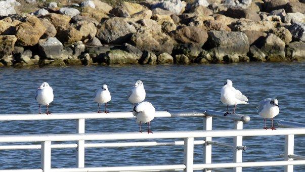 Birds, Sea, Seagull, Black-headed Gull, Brittany