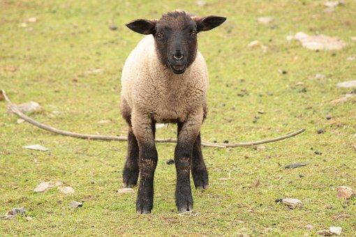 Lamb, Sheep, Cub, Farm, Animal, Economy, Little Sheep