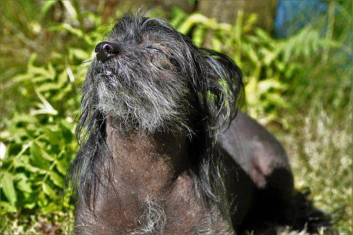 Dog, Chinese Crested Dog, Black, Hairless Dog, Basking