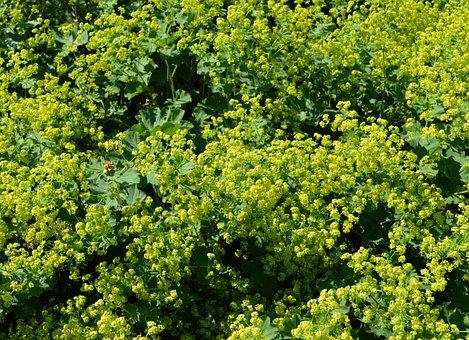 Frauenmantel, Alchemilla, Rosaceae, Green, Plant, Leaf