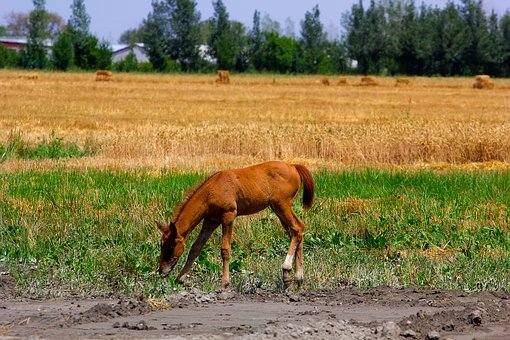 Horse, Fields, Brown, Nature, Animal, Mare, Foal, Nag