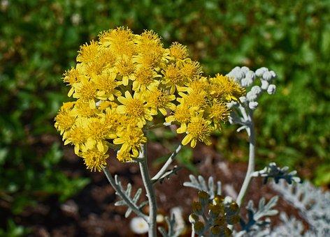 Silver Leaf Cineraria, Flower, Blossom, Bloom, Plant