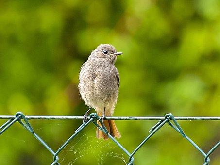 Red Tailed, Black Redstart, Songbird, Garden Bird, Bird