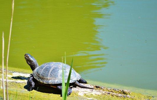 Turtle, Water Turtle, Reptile, Tortoise Shell, Animal