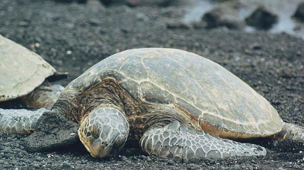 Turtle, Beach, Black Sand, Sea, Ocean, Animal, Nature