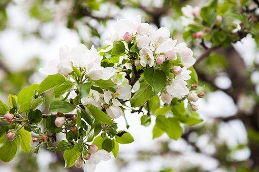Apple Tree, Bloom, Apple-blossom, Apple Flower