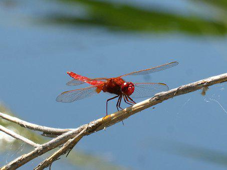 Red Dragonfly, Winged Insect, Erythraea Crocothemis