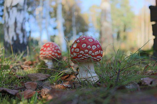 Poisonous Mushroom, Forest, Evening, Summer, Finland