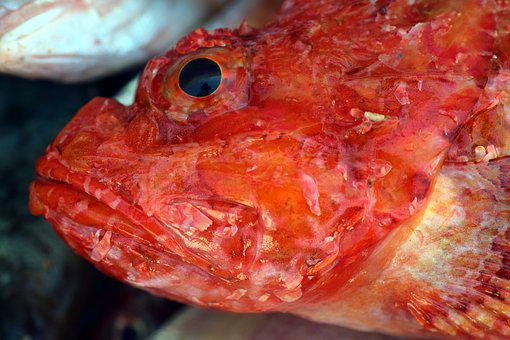 Fish, Frisch, Fresh Fish, Red, Fish Head, Red Fish Head