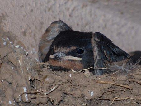 Breeding, Nest, Chick, Swallow, Hirundo Rustica