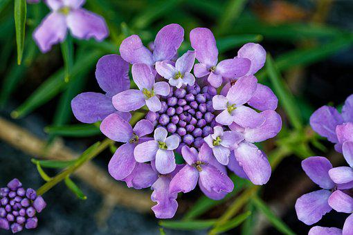 Candytuft, Doldige Loop Flower, Iberis Umbellata