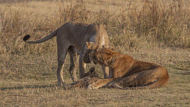 Lion, Cub, Family, Nature, Purpose, Animal, Wildlife
