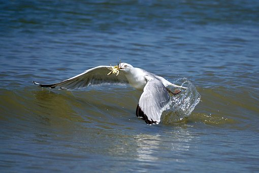 Gull, Fang, Food, Prey, Fly, Cancer, Water, Beach