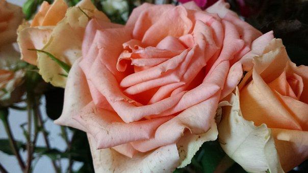 Roses, Pink Roses, Flowers, Summer, Sun, Nature, Garden