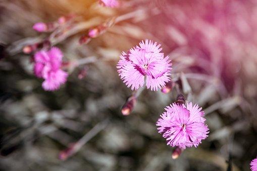 Cloves, Cushion Flowers, Dianthus, Stone Garden