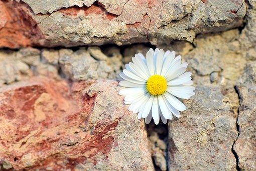 Flower, Daisy, Wall, Stone Wall, Wallflower